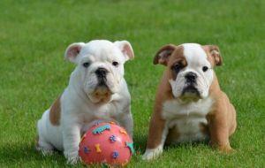 libero superiore. Inglese. Cuccioli di Bulldog disponibili.